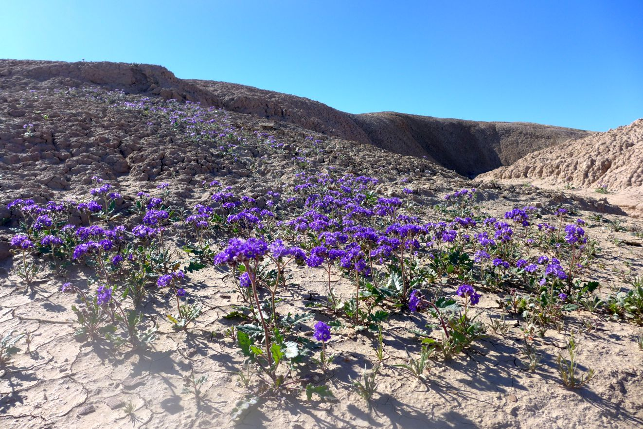 bloom reports from the anza borrego desert 2016 2017