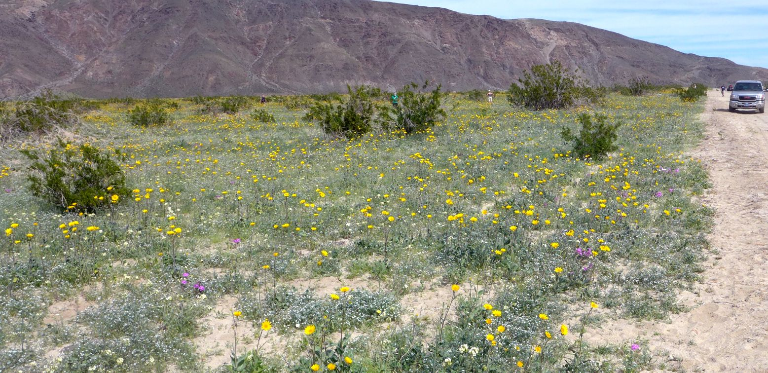 Bloom reports from the anza borrego desert 2016 2017 many places on the west side of borrego springs have similar displays click on the picture for a larger version mightylinksfo
